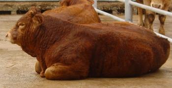 Primeiro ensaio previsto com vitelos cruzados Limousine x cruzado de Alentejano